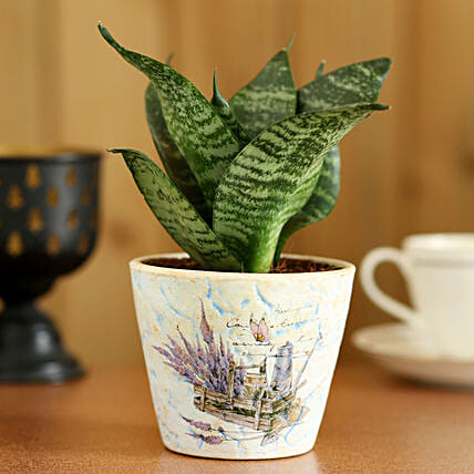 Sansevieria Hahnii In Blue Ceramic Pot: Boss Day Gifts