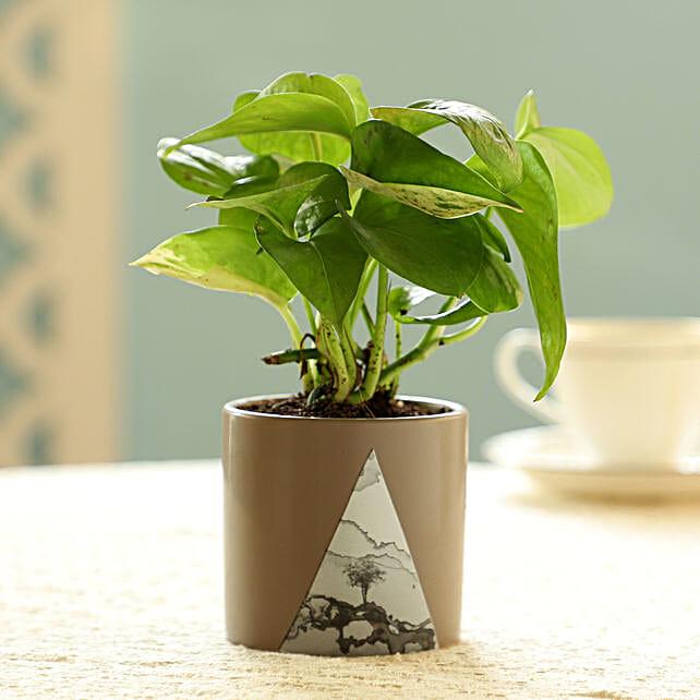 Money Plant In Beige Pot: Plant New Arrivals