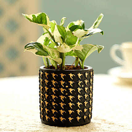 White Pothos Plant In Black Pot: Boss Day Gifts