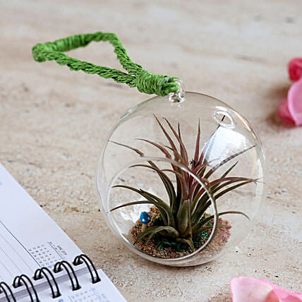 Tillandsia Air Plant in Glass Globe: Terrariums Plants