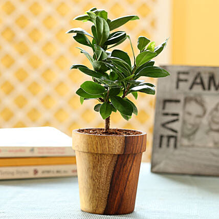 Ficus Compacta In Sheesham Wood Vintage Planter: Outdoor Plants