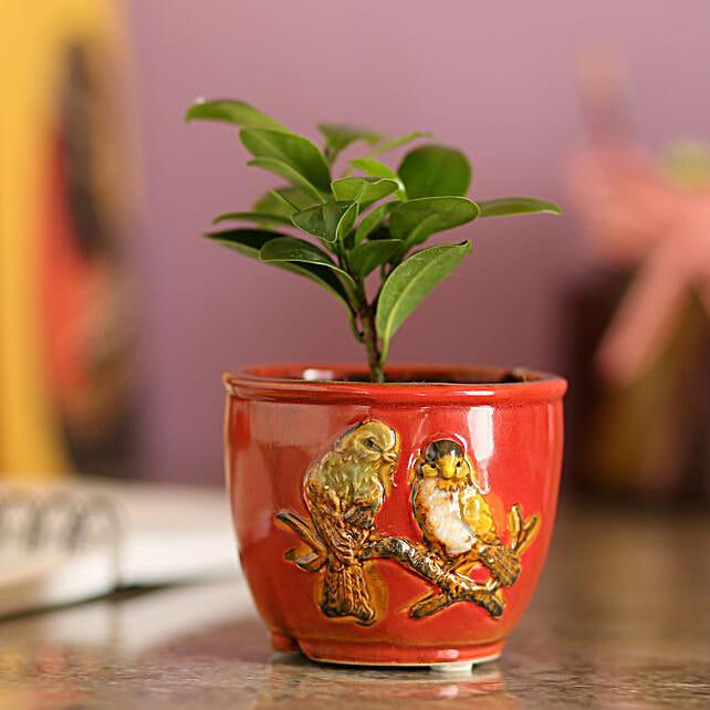 Ficus Compacta In Red Ceramic Pot: Indoor Plants