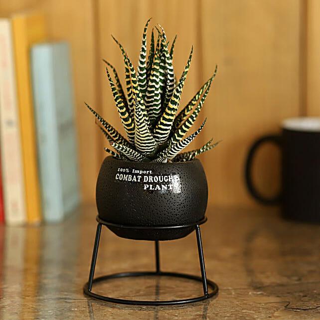 Pot of Haworthia Plant: Ornamental Plant Gifts