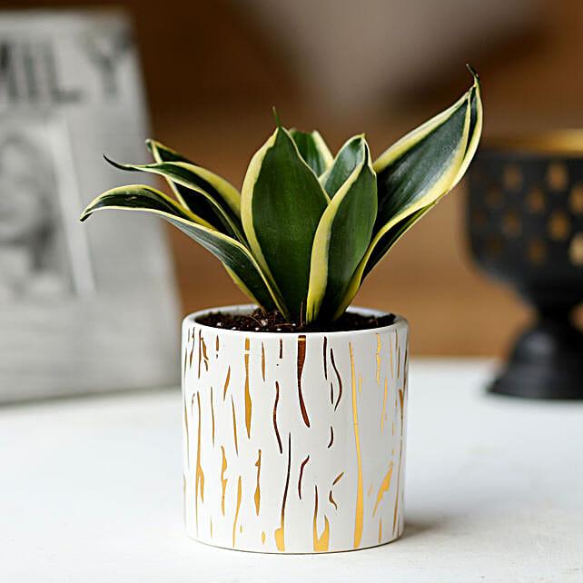 White Pot of Sansevieria Plant: Romantic Gifts