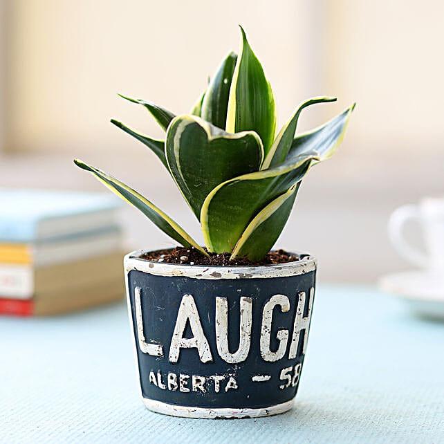 Blue Pot of Sansevieria Plant: Ornamental Plants