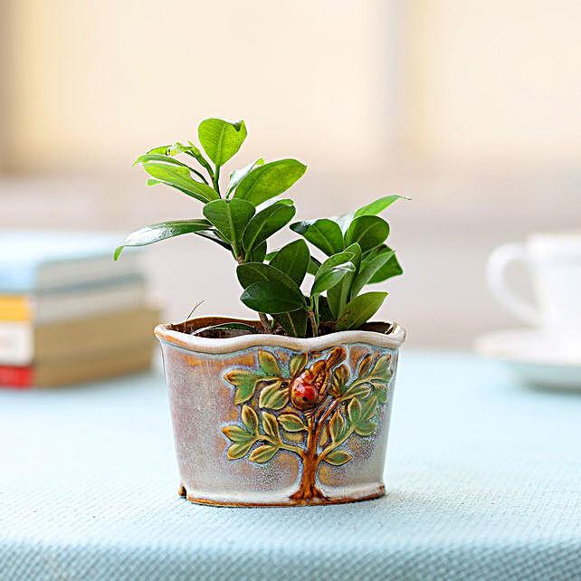 Ceramic Pot of Ficus Plant: Ornamental Plants