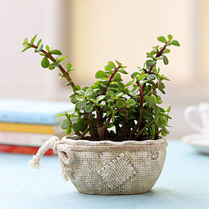 Ceramic Pot of Jade Plant: Indoor Plants