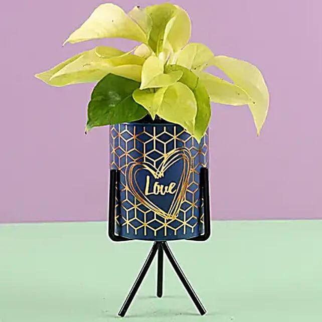 Golden Money Plant in Ceramic Pot: Pots and Planters