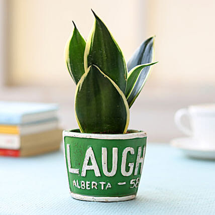 Green Pot of Sansevieria Plant: Love N Romance Gifts