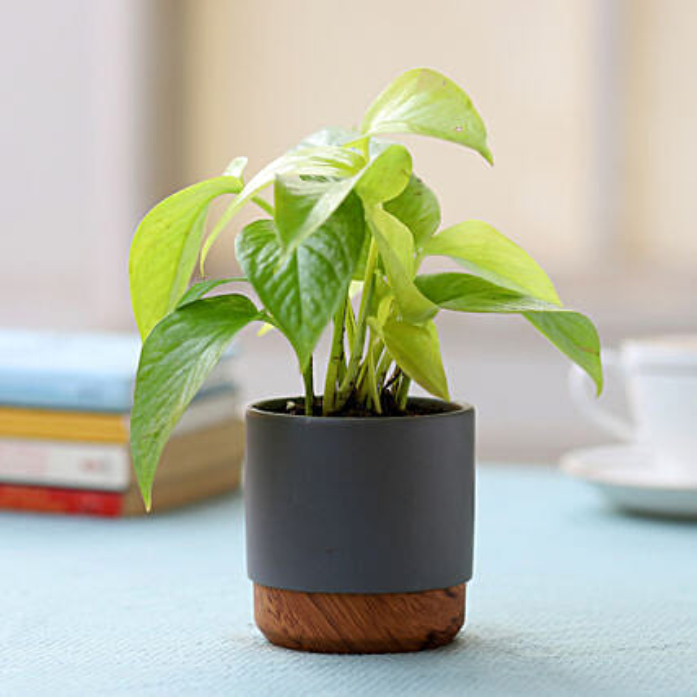 Grey Pot of Money Plant: Money Plant