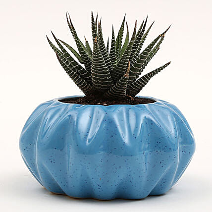 Haworthia Plant in Ceramic Pot: Outdoor Plants