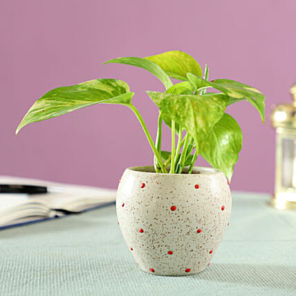 Money Plant in Polka Dots Ceramic Pot: Buy Indoor Plants