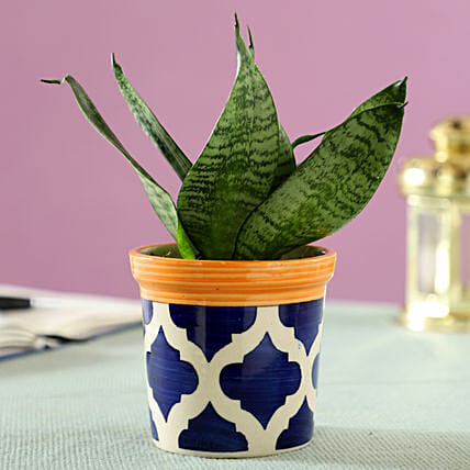 Sansevieria Plant in Blue Ceramic Pot: Indoor Plants
