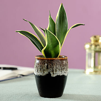 Sansevieria Plant in Brown Ceramic Pot: Spiritual and Vastu Plants