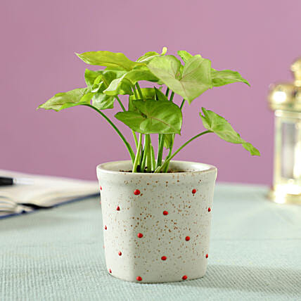 Syngonium Plant in Polka Dots Ceramic Pot: Indoor Plants