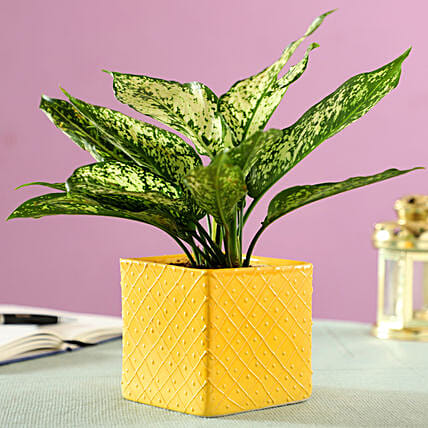 Aglaonema Plant in Yellow Ceramic Pot: Spiritual Plant