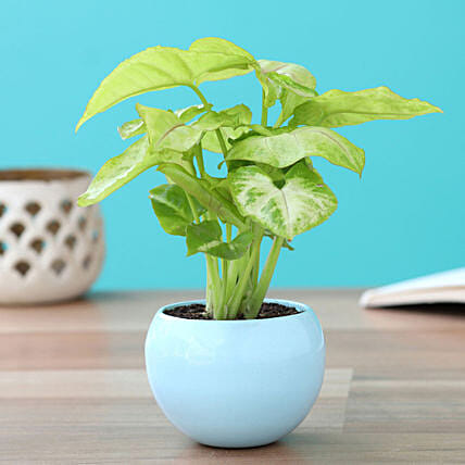 Syngonium Plant In Orchid Metal Pot: Fathers Day Gift Delivery