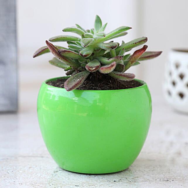 Aeonium Kiwi Plant In Green Metal Pot: Gift For Karwa Chauth