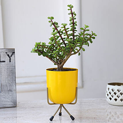Jade Plant In Yellow Plant With Stand: Karwa Chauth Gifts