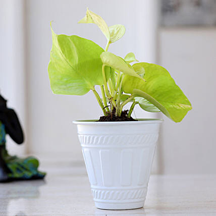 Golden Money Plant In Matte White Pot: Valentines Day Gifts