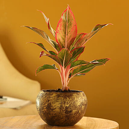 Red Aglaonema Plant In Gold Metal Finish Pot: Valentine Gifts