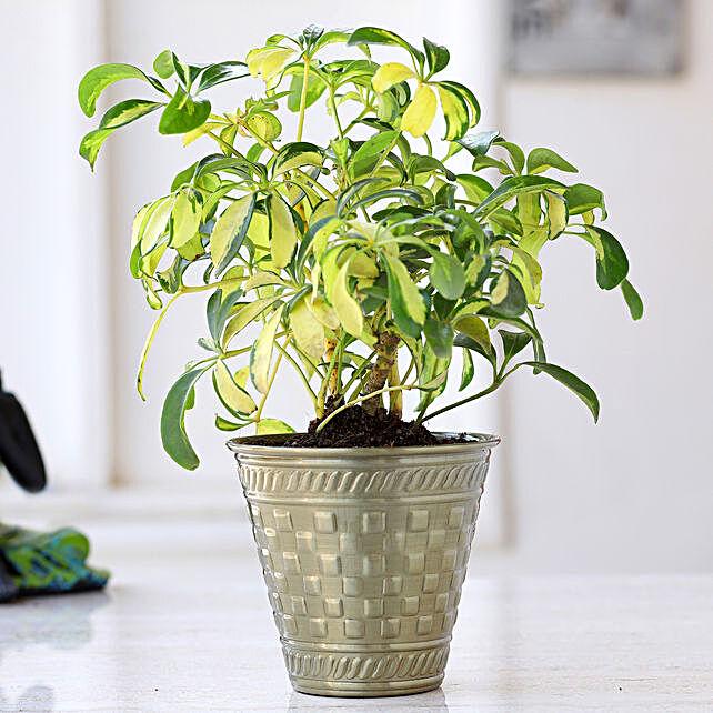 Schefflera Bonsai Plant In Brass Pot: Valentines Day Gifts
