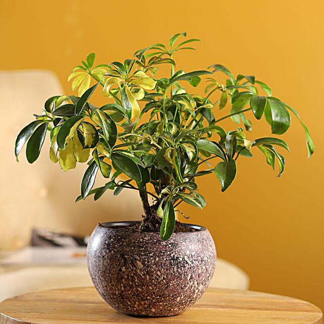 Schefflera Bonsai Plant In Stone Finish Metal Pot: Valentine Gifts