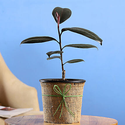 Rubber Plant In Black Nursery Pot: Gift for Father's Day