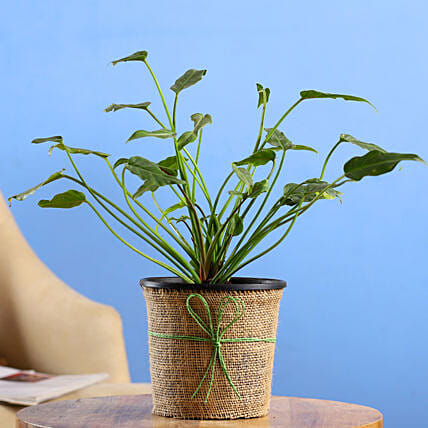 Xanadu Plant In Black Nursery Pot: Fathers Day Gift Delivery