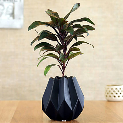Baby Cordyline Plant In Black Conical Pot: Send Holi Gifts