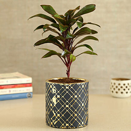 Baby Cordyline Plant In Zigzag Cylindrical Pot: Send Holi Gifts