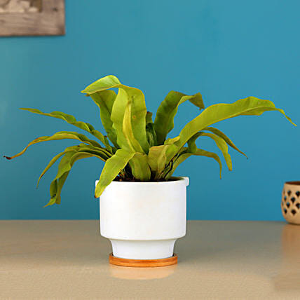Bird Nest Fern Plant In Pink Pot With Wooden Plate: Send Holi Gifts