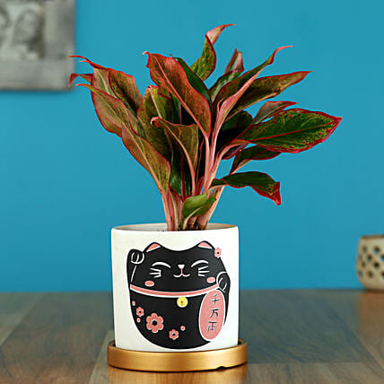 Red Aglaonema Plant In Golden Plate Cat Print Pot: Holi Gifts