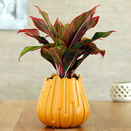 Red Aglaonema Plant In Yellow Lotus Shaped Pot: Holi Gifts