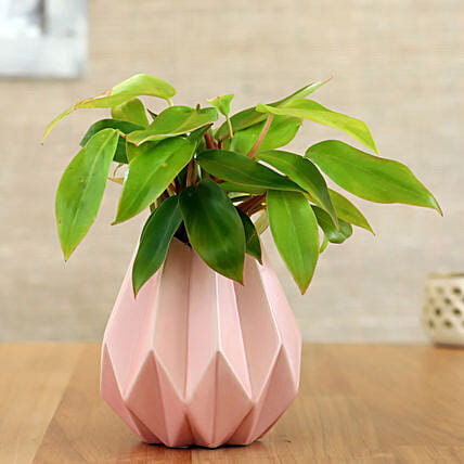 Red Philodendron Plant In Pink Conical Pot: Holi Gifts