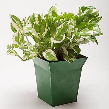 White Pothos Plant in Bucket Shaped Metal Pot: Pots and Planters
