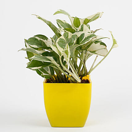 White Pothos Plant in Imported Plastic Pot: Exotic Plants