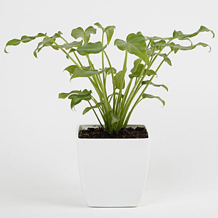 Xanadu Philodendron Green Plant in Imported Plastic Pot: Air Purifying Plants