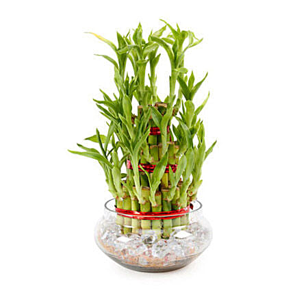 Good Luck Plant 3 Layers: Indoor Plants in UAE