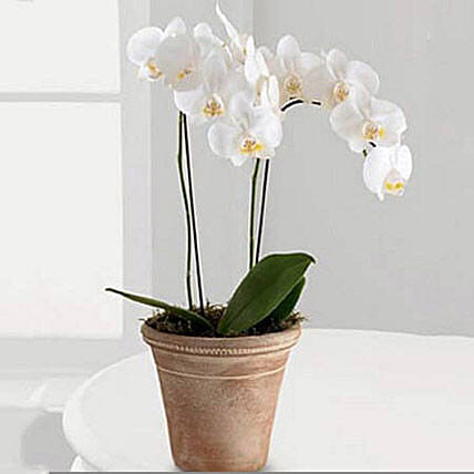 White Phalaenopsis Orchid Plant: Send Outdoor Plants to UAE