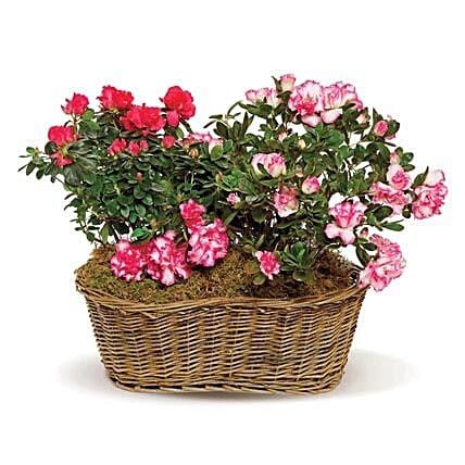 Awesome Azaleas: Flower Delivery in Boston