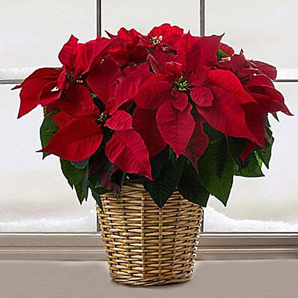 Red Poinsettia: Send Christmas Gifts to USA