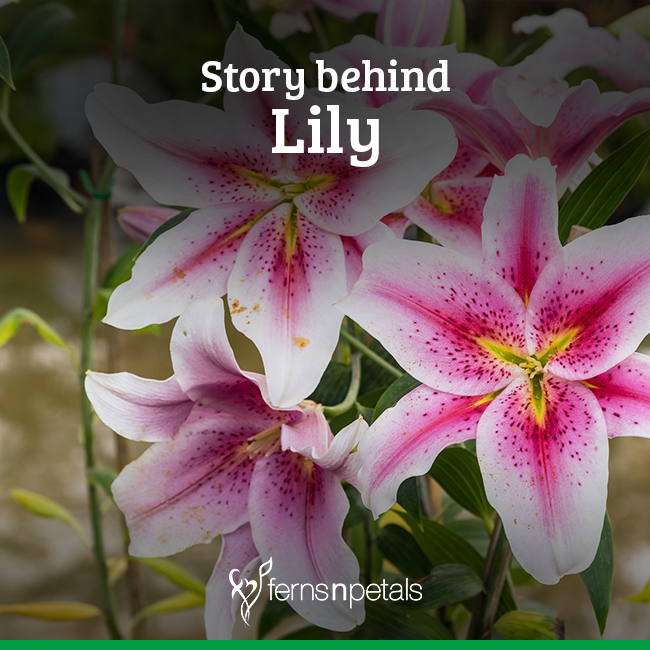 What Is The Origin Of Lily