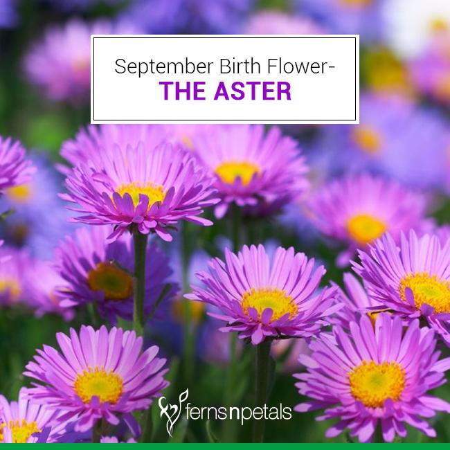 September Birth Flower The Aster