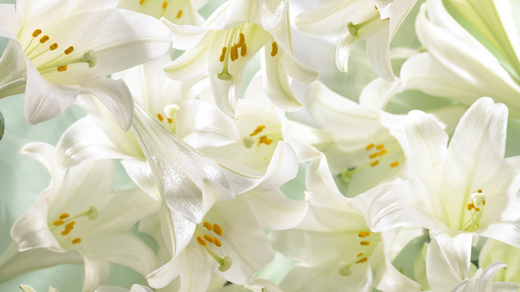 whitle lilies