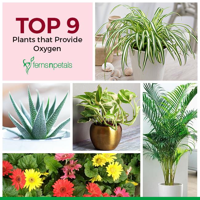 Plants that Provide Oxygen