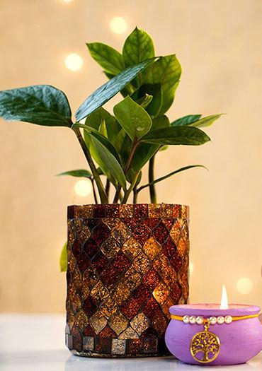 Diwali Plants online