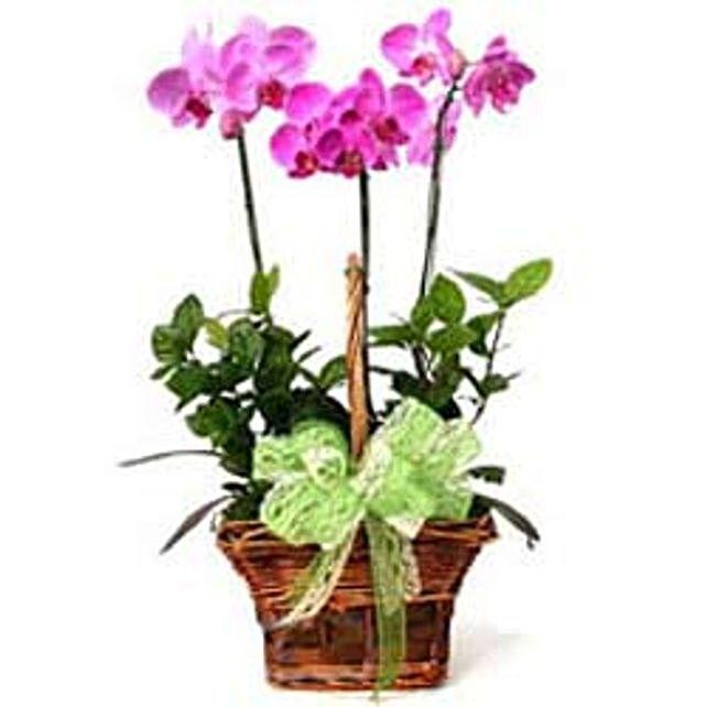 3 phalaenopsis orchids -CIN