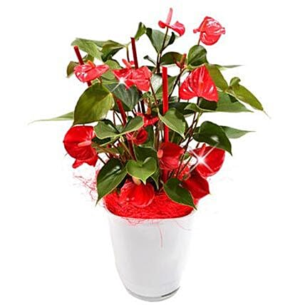 Anthurium Plant in Pot:Plants  in Germany