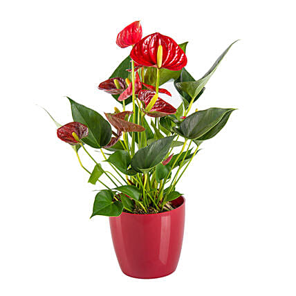 Red Tail Flower:Plant Delivery in Germany